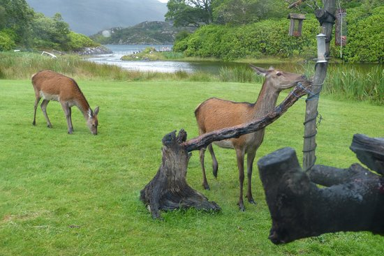 Glenborrodale, UK: Bring extra food for the deer!!