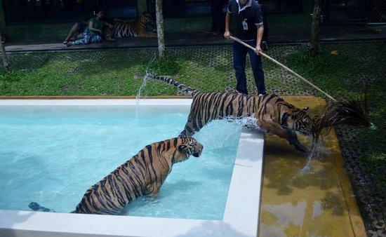 Tiger Kingdom 4