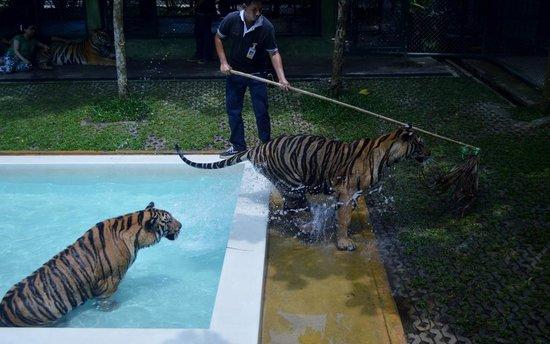 Tiger Kingdom 5