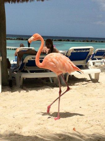 Renaissance Aruba Resort & Casino: Friendly Flamingo on Island