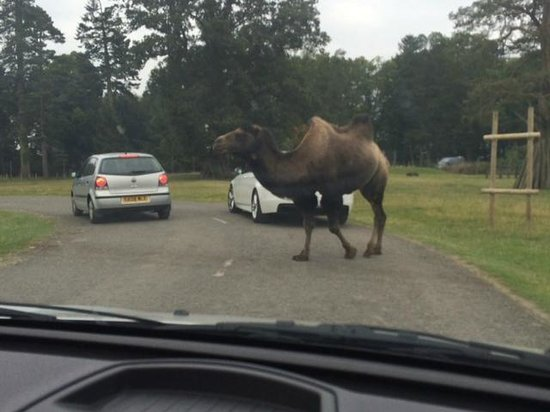 Blair Drummond Safari and Adventure Park: Camel crossing the road
