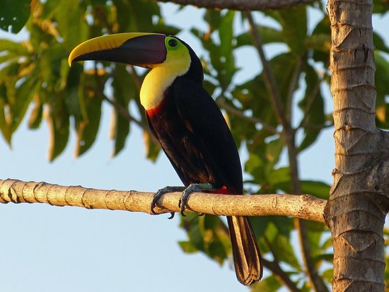 Punta Marenco Lodge : les toucans assurent le spectacle