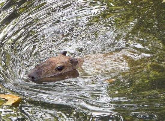 ARTIS Amsterdam Royal Zoo : Capybara