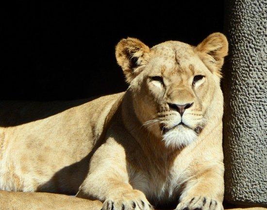 ARTIS Amsterdam Royal Zoo : Lioness