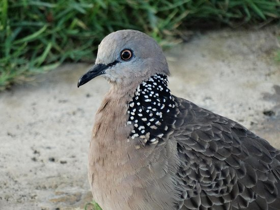 The Oberoi Bali: spotted doves (there are many)