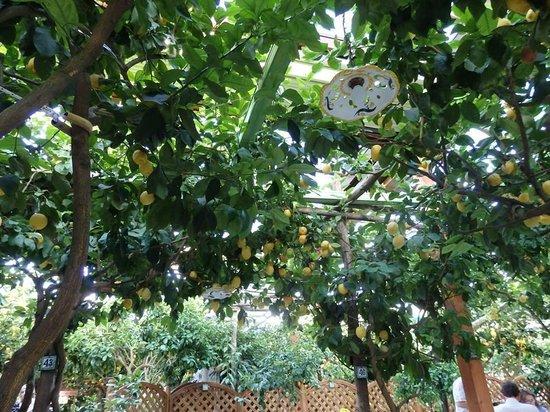 Da Paolino Lemon Trees: Lemon ceiling