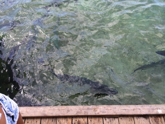 Dinghy Dock: Giant Tarpon off the dock
