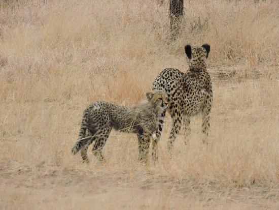 Siyafunda Conservation: Cheetahs