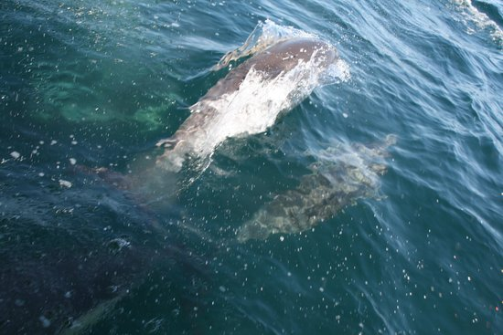 Ocean Safaris : Dolphins swimming next to the boat