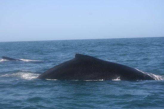 Ocean Safaris: Humpback Whale