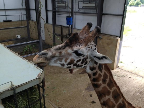 Cotswold Wildlife Park and Gardens: Giraffes inside inches from you on the raised viewing platform