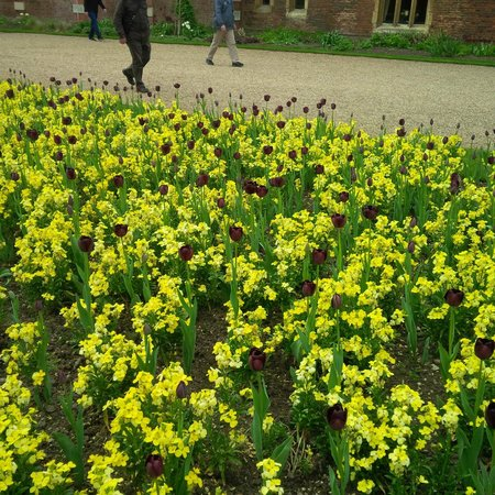 Hampton Court Palace: One of the Tulip types