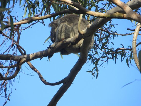 Melbourne Marriott Hotel: Koala