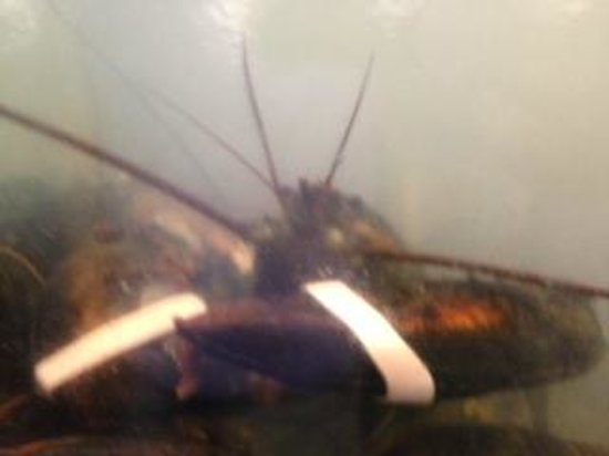 Travelin Lobster : An unsuspecting dinner guest awaits his table.