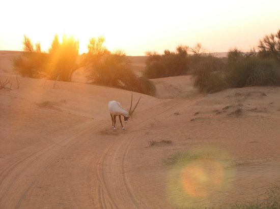 Al Maha, A Luxury Collection Desert Resort & Spa: Arabian Gazelle in the Dubai Conservation Reserve at Al Maha