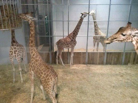 Parc Zoologique de Paris: girafle