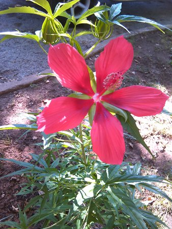 Frederick Motel: Texas Star Hibiscus in Bloom