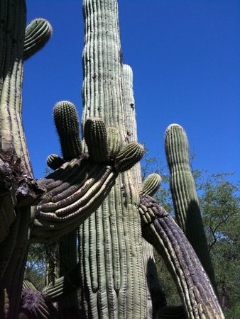 Canyon Ranch in Tucson: The Saguaro cactus around the Inn are stately