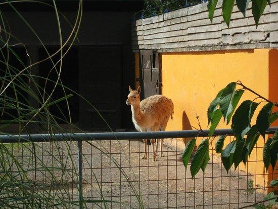 Twycross Zoo : LAMA?