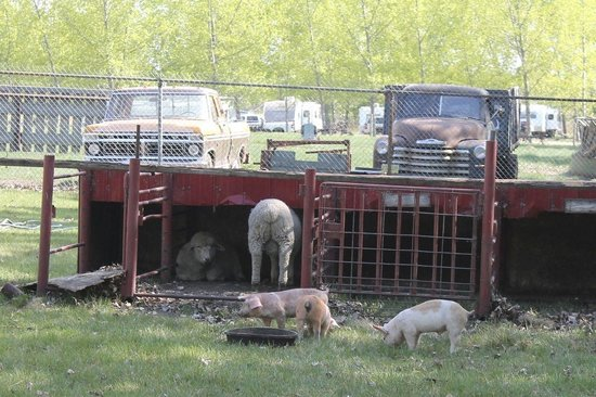 Ol' MacDonalds Resort: Animals at petting zoo - can't really pet them because they're far from the fence.