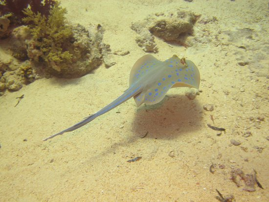 Camel Dive Club & Hotel : Blue Spotted Stingray