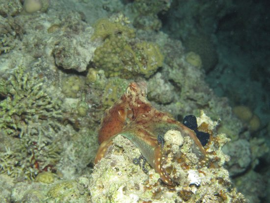 Camel Dive Club & Hotel: Octopus from a night dive