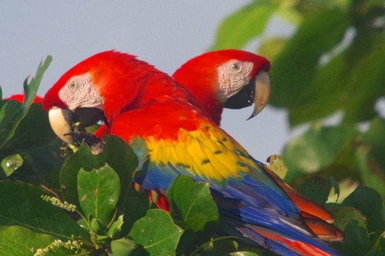 Luna Lodge: Scarlet Macaw in the trees