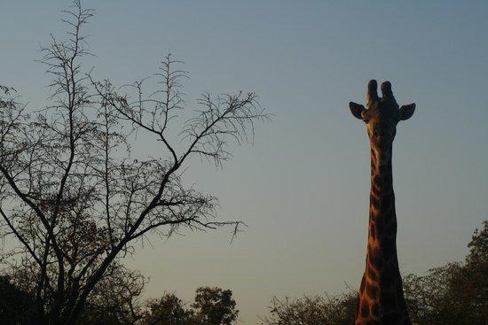 Waterbuck Game Lodge: Giraffe on the right