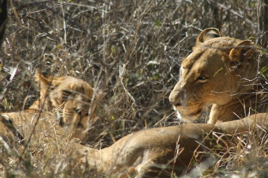 Waterbuck Game Lodge: More lions