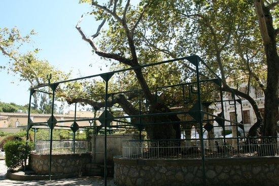 Hippocrates Tree : Платан