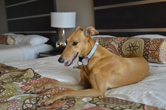 Grand Sierra Resort and Casino: so comfy on her own bed