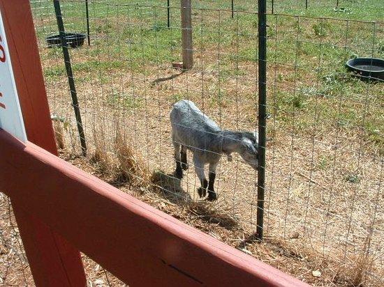 Grandad's Apples: hungry goat