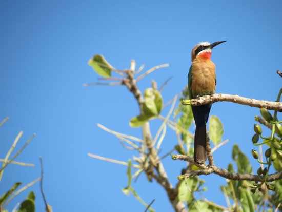 Dulini Lodge: White-fronted Bee eater
