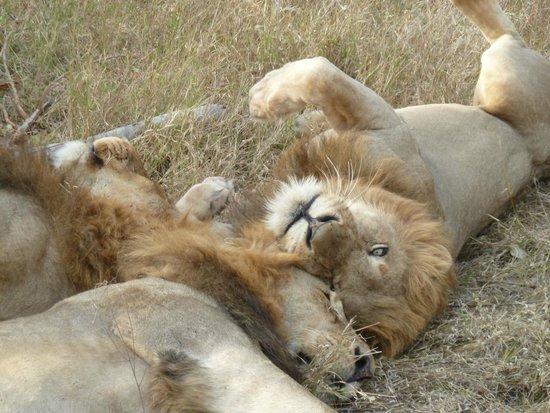 Dulini Lodge: Male Lions