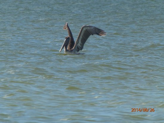 Fort Myers Beach : Feeding time on the Gulf