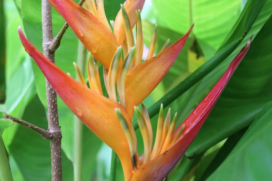 Hana Maui Botanical Gardens: Helecnia Psiticorum small