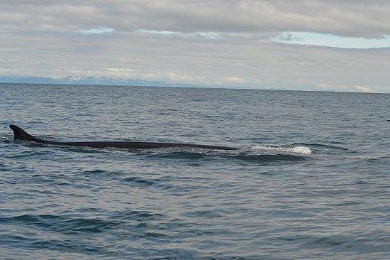 Zachar Bay Lodge: Finback Whale