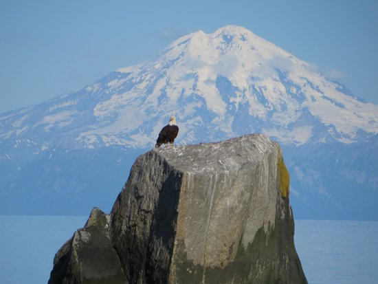 Clam Gulch : Bald eagle on the rock!