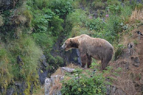 Zachar Bay Lodge: Bear viewing