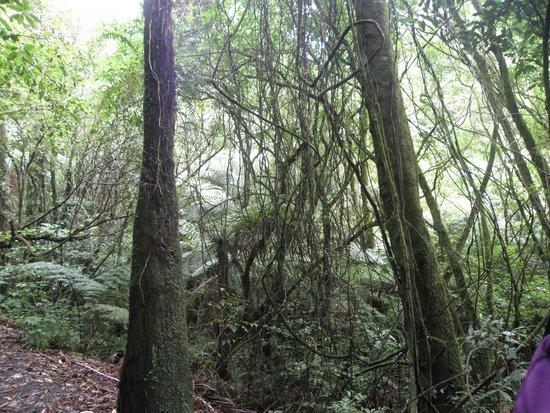 Sanctuary Mountain Maungatautari: Лианы