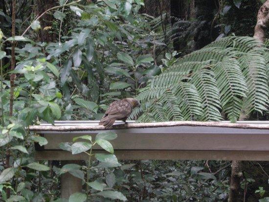Sanctuary Mountain Maungatautari: Попугай Кака