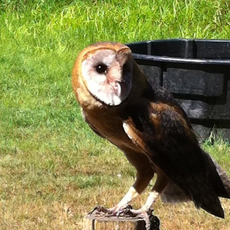 Hawley Place Bed and Breakfast: young Owl at raptor's
