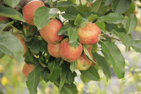 Banjara Camp &  Retreat - Sangla Valley Camp: Apples in the resort ..