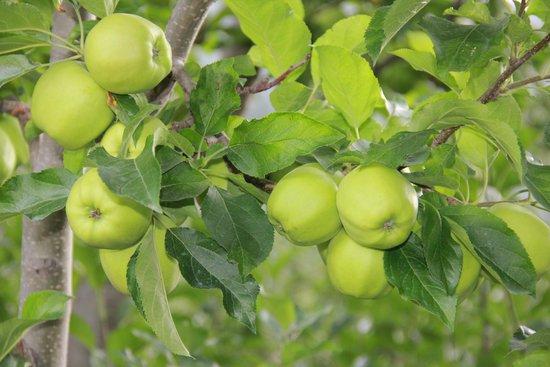 Banjara Camp &  Retreat - Sangla Valley Camp : Apples in the resort ..