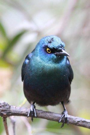 Birds of Eden: Starling