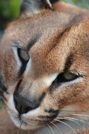 Tenikwa Wildlife Awareness Centre: Rooikat