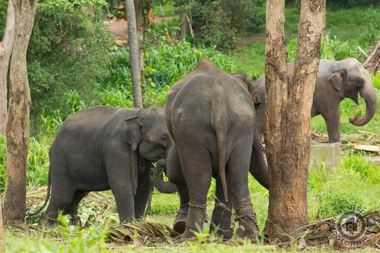 Pinnawala Elephant Orphanage : Hobbled
