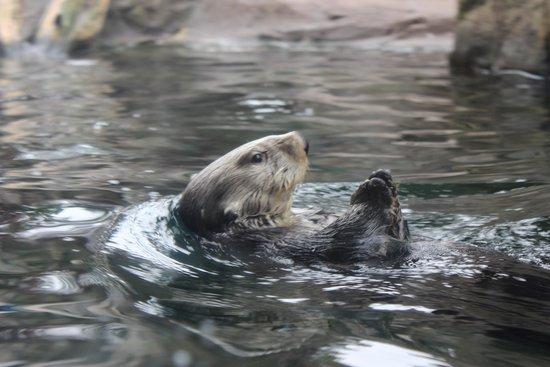 Minnesota Zoo : Sea Otter.