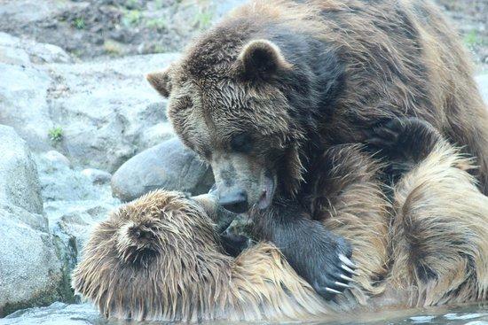 Minnesota Zoo : Grizzly Bear Brawl.