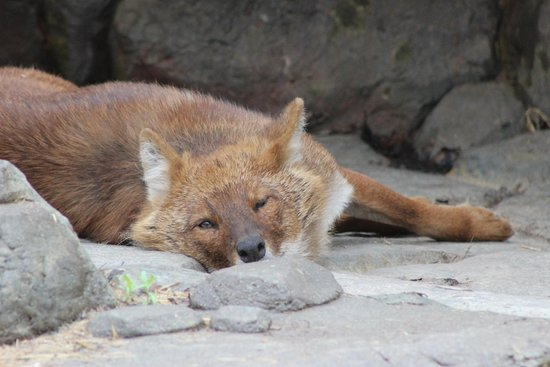 Minnesota Zoo: Dhole.